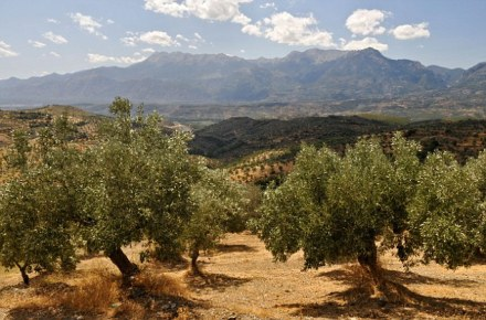 Looking west near Sparta across olive groves with the Taygetos mountains in the background Southern Peloponnese Greece